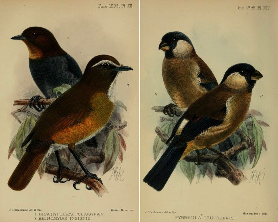 Ogilvie-Grant in The Ibis (1895): White-browed (Luzon) Jungle Flycatcher, White-browed Shortwing, and (right) White-cheeked Bullfinch