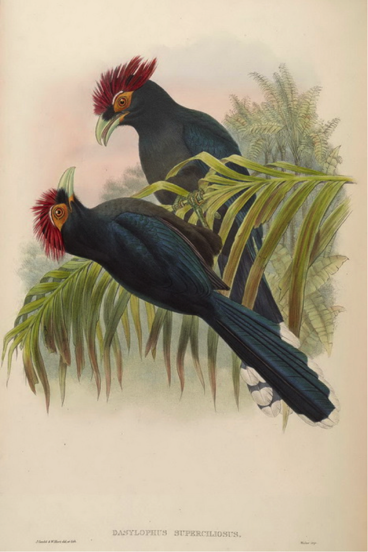 Gould's Birds of Asia (1883): Rough-crested Malkoha