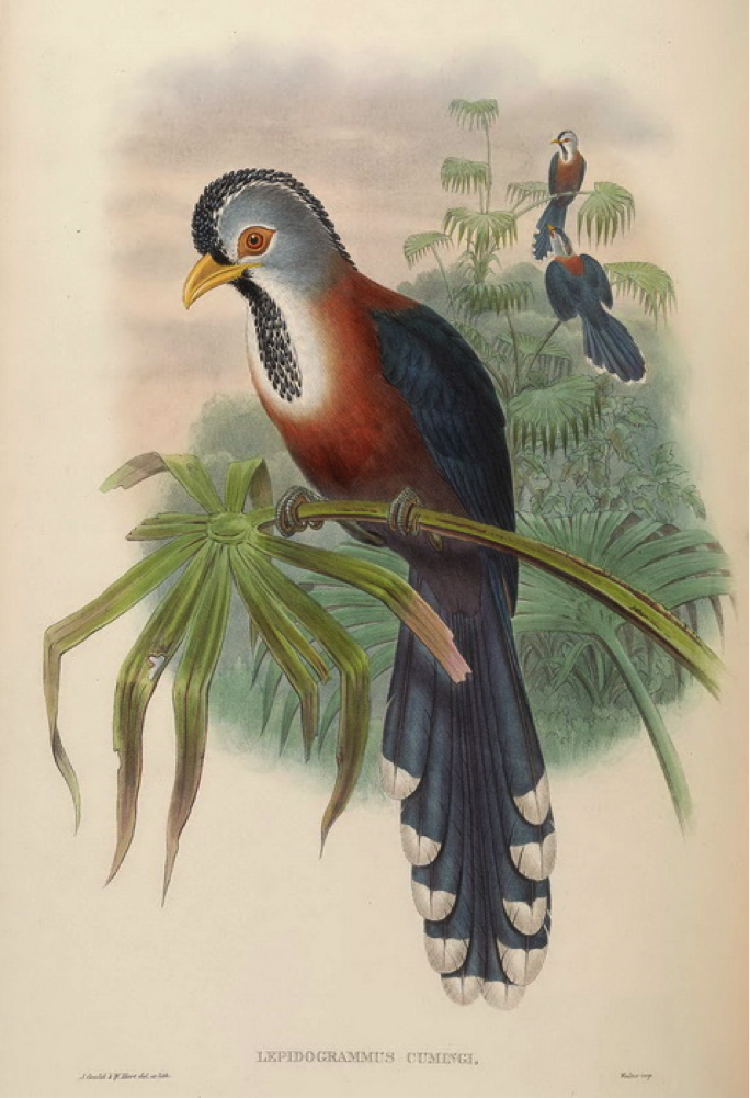 Gould's Birds of Asia (1883): Scale-feathered Malkoha