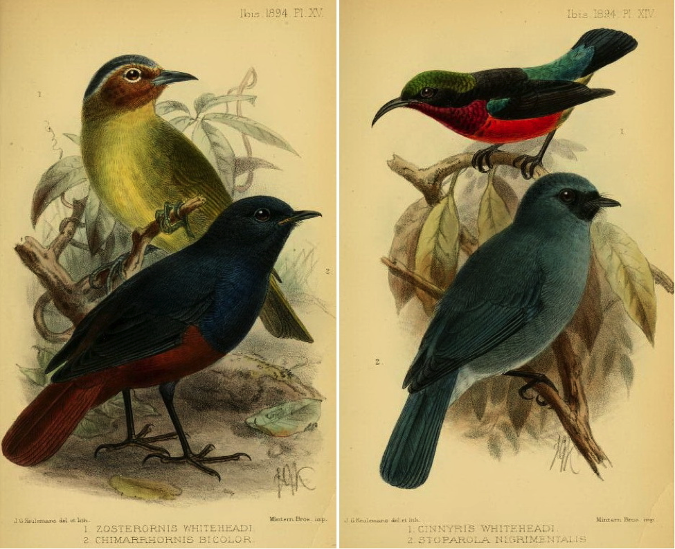 Ogilvie-Grant in The Ibis (1894): (left) Chestnut-faced babbler and Luzon Water Redstart; (right) Purple-throated Sunbird and Turquoise Flycatcher