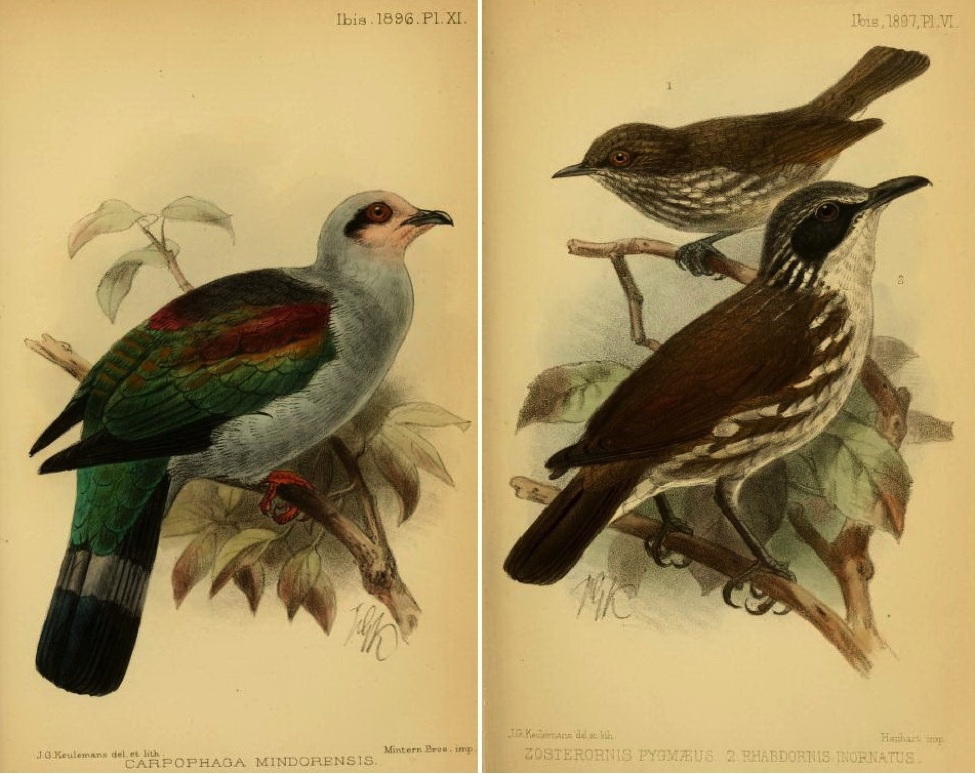 Ogilvie-Grant in The Ibis (1896 and 1897): Mindoro Imperial Pigeon and Stripe-breasted Rhabdornis