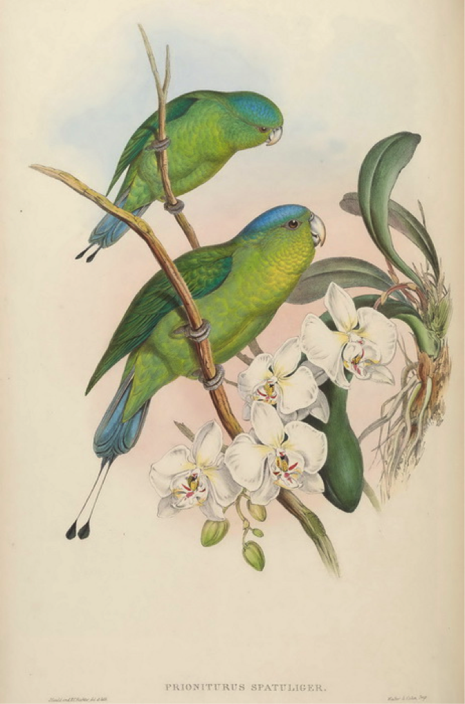Gould's Birds of Asia (1883): Blue-crowned Racket-tail