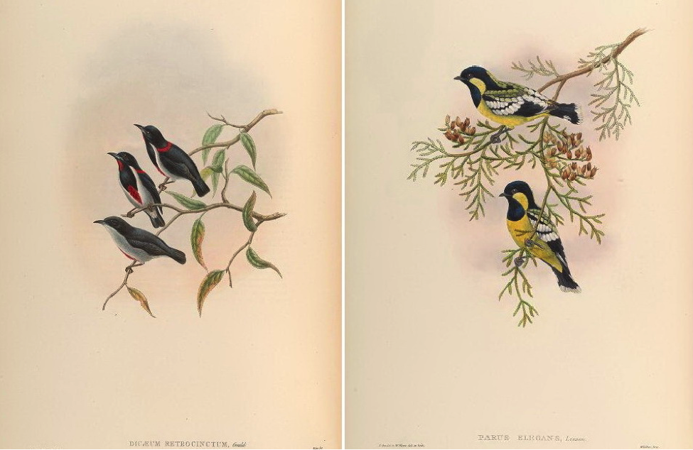 Gould's Birds of Asia (1883): Scarlet-collared Flowerpecker and Elegant Tit