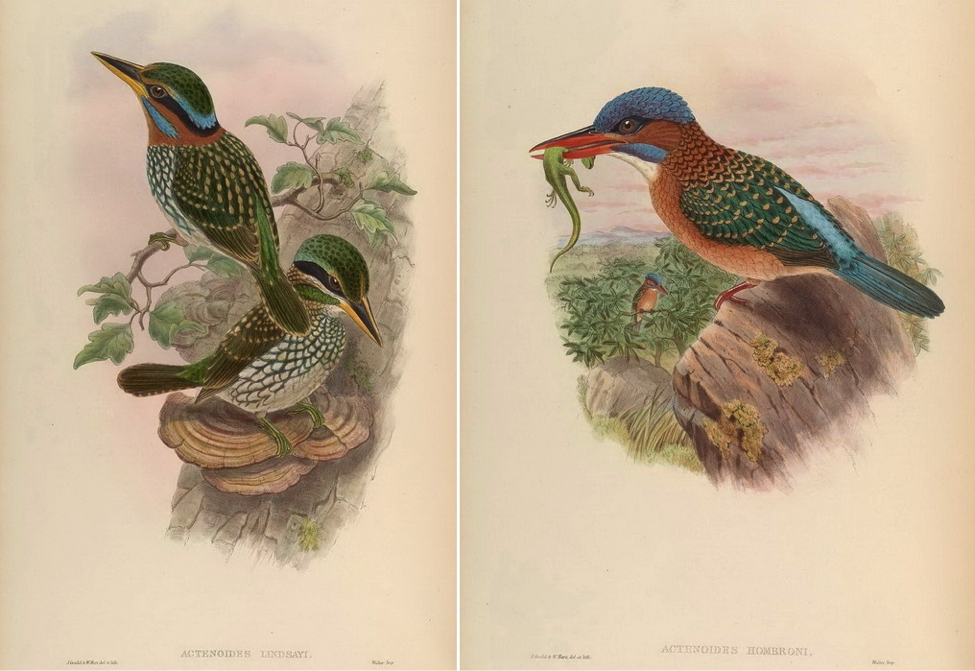 Gould's Birds of Asia (1883): Spotted Wood-Kingfisher and Blue-capped Wood-Kingfisher