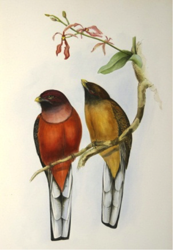 Gould's A Monograph of the Trogonidae (1875): Philippine Trogon