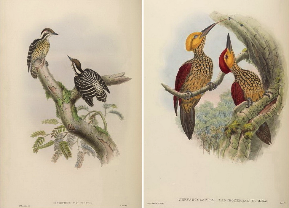 Gould's Birds of Asia (1883): Philippine Pygmy Woodpecker and Yellow-faced Flameback