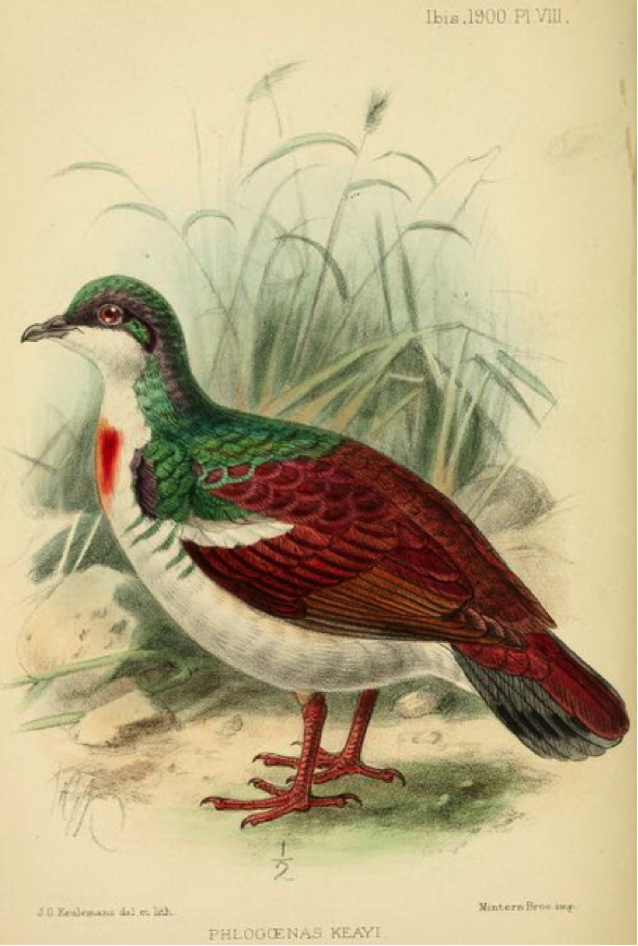 Clarke's On some birds of the island of Negros (1900): Negros Bleeding-heart