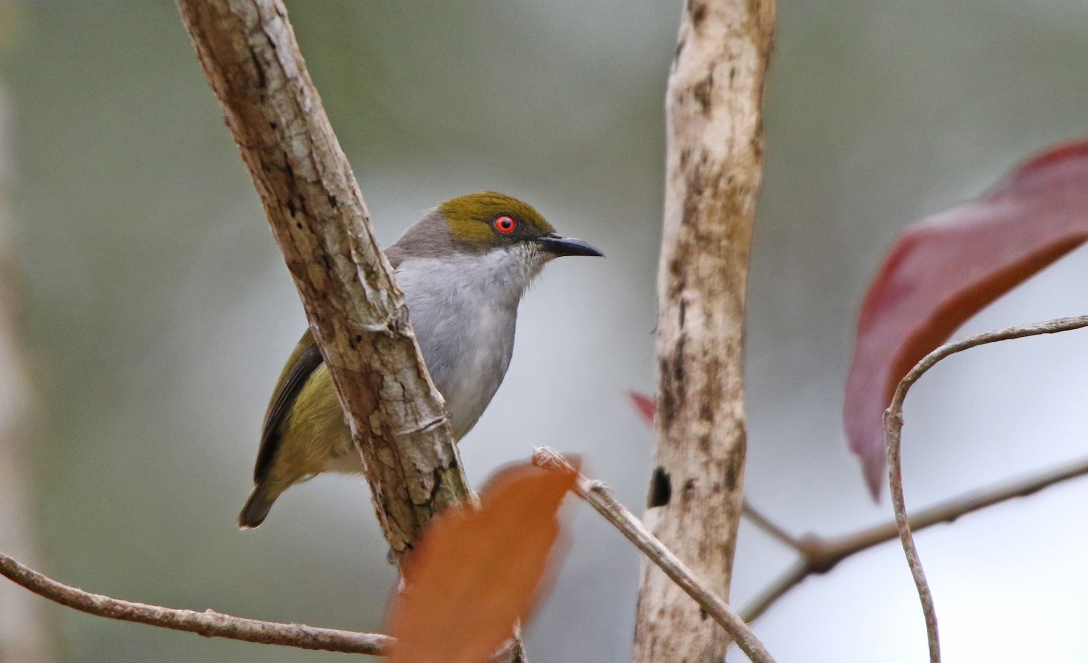 Olive-capped Flowerpecker. Photo by Pete Simpson