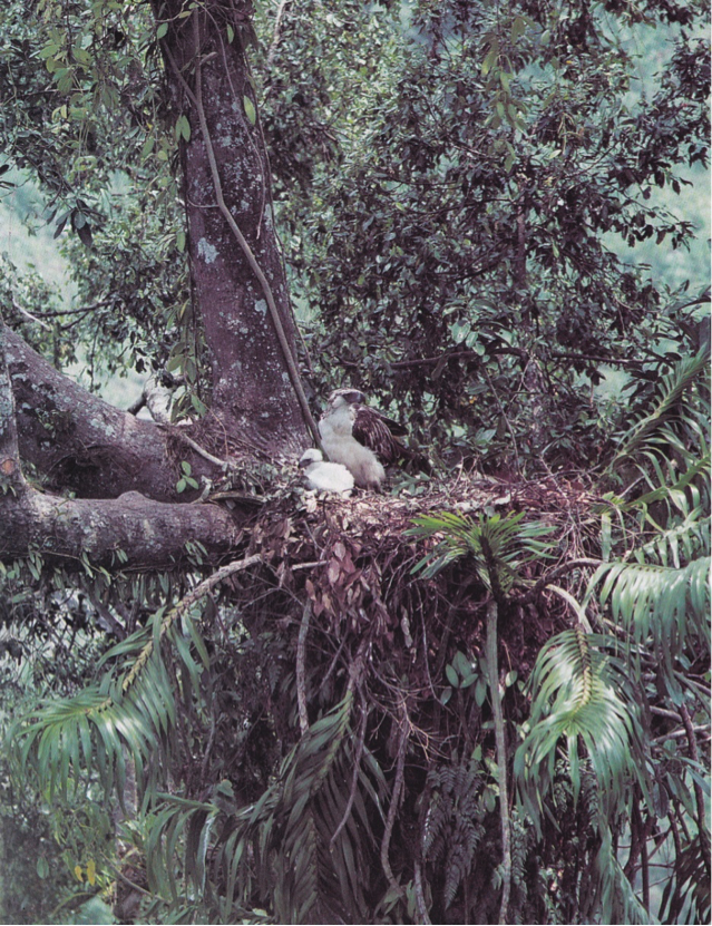 Dickinson et al's The Birds of the Philippines: Adult female Philippine Eagle with 40-day old eaglet at Magpet, North Cotabato, March 1979