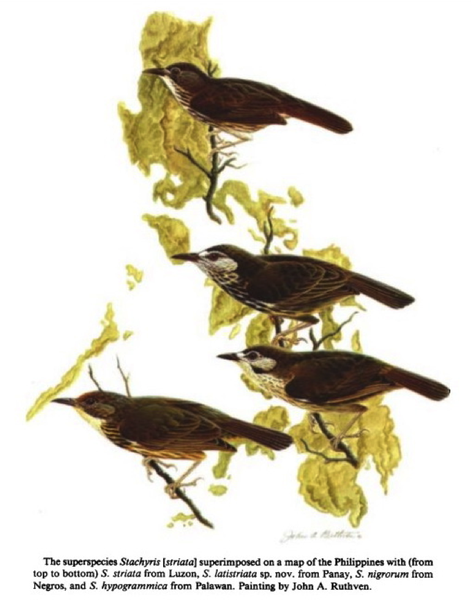 Gonzales and Kennedy in Wilson Bulletin (1990): the Striped Babblers