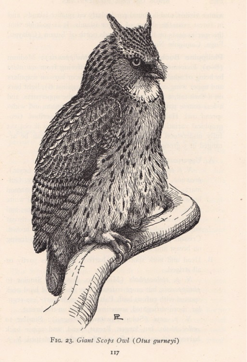 Delacour and Mayr's Birds of the Philippines (1946): Giant Scops-Owl