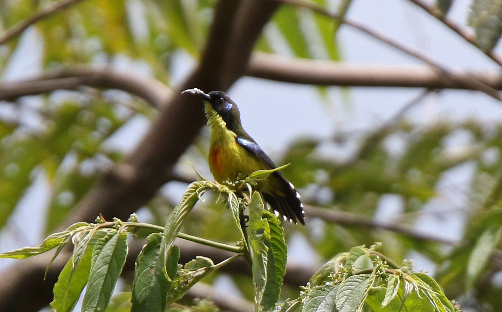 Lina's Sunbird, male. Photo by Pete Simpson