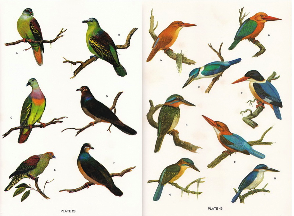 Dupont's Philippine Birds typical illustration pages