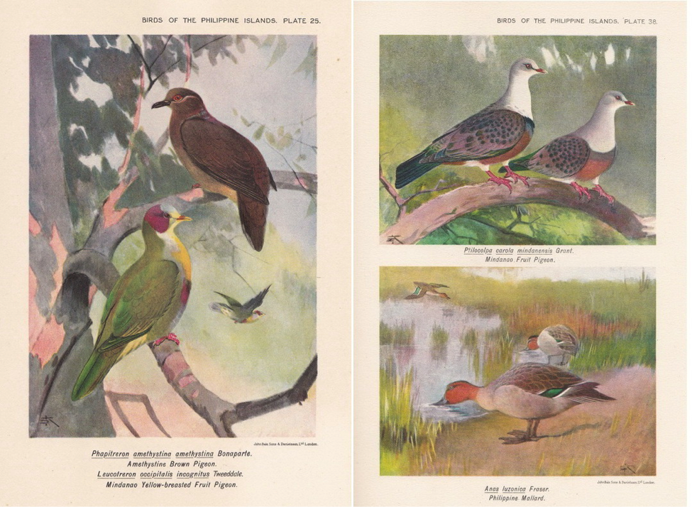 Hachisuka's Birds of the Philippines (1931): (left) Amethyst Brown Dove and Yellow-breasted Fruit Dove; (right) Spotted Imperial Pigeon and Philippine Duck