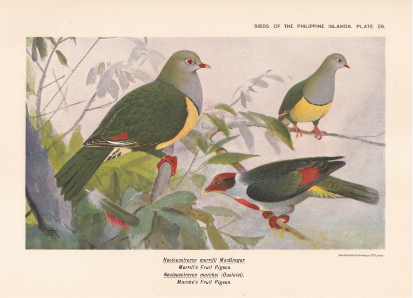 Hachisuka's Birds of the Philippines (1931): Cream-bellied Fruit Dove and Flame-breasted Fruit Dove