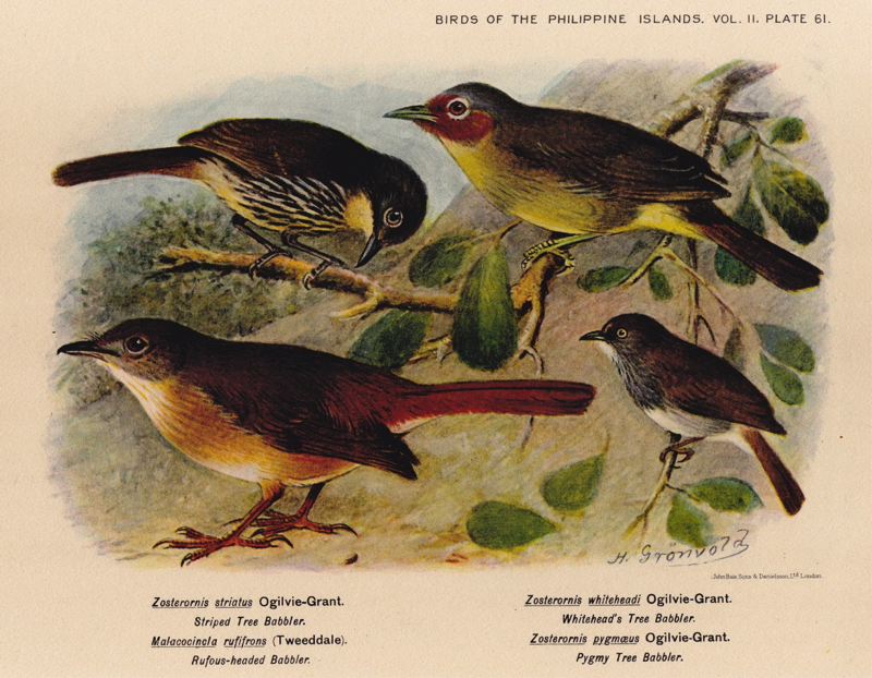 Hachisuka's Birds of the Philippines (1931): Luzon Striped Babbler, Chestnut-faced Babbler, Melodious Babbler and Visayan Pygmy Babbler