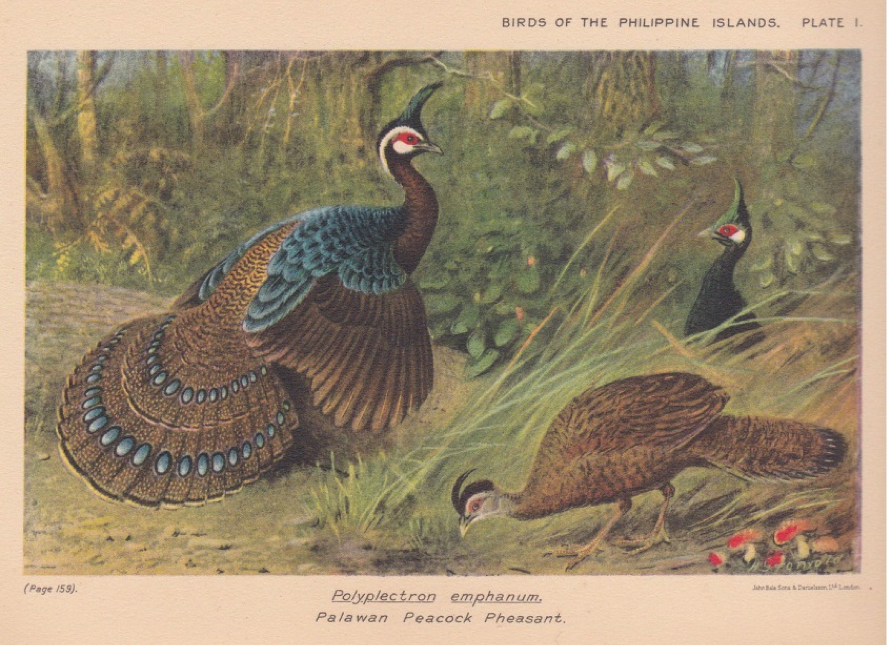 Hachisuka's Birds of the Philippines (1931): Palawan Peacock-Pheasant