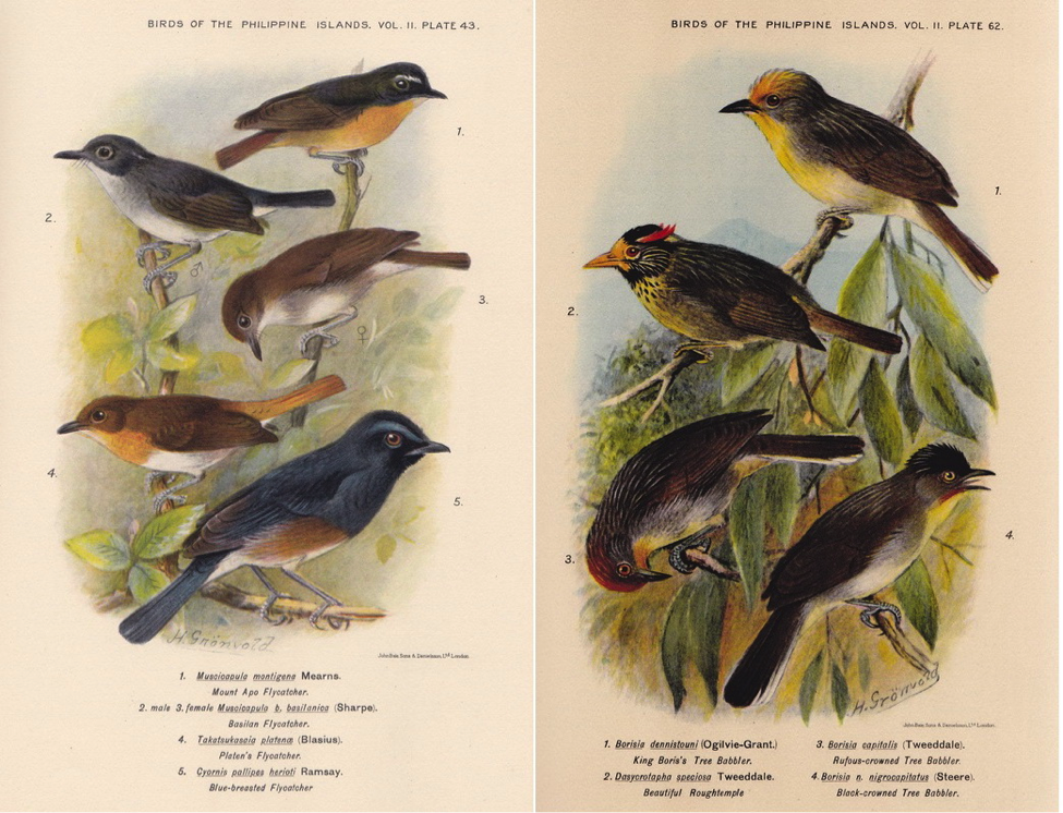 Hachisuka's Birds of the Philippines (1931): (left) Snowy-browed Flycatcher, Little Slaty Flycatcher, Palawan Flycatcher, and Blue-breasted Blue Flycatcher; (right) Golden-crowned Babbler, Flame-templed Babbler, Rusty-crowned Babbler, and Black-crowned Babbler