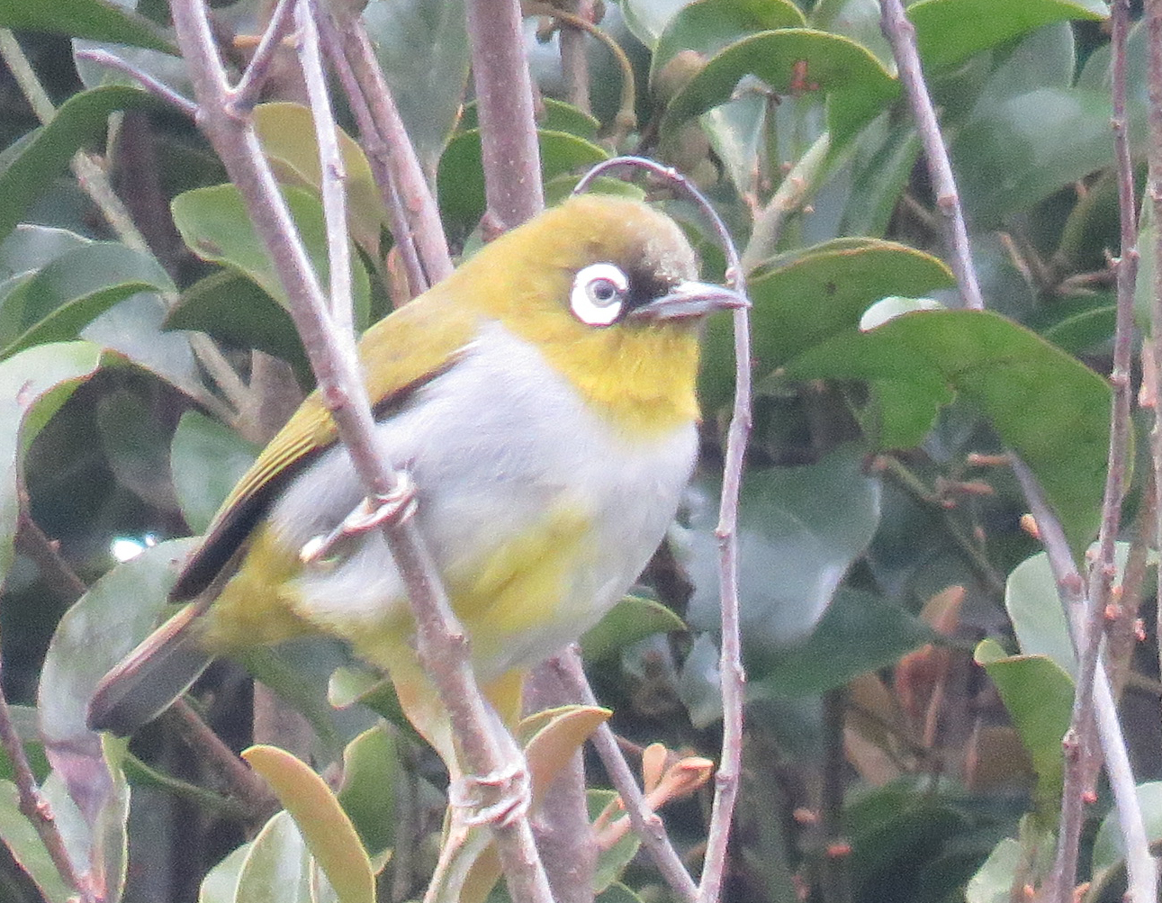 Black-capped White-Eye. hoto by Randy Weisser.