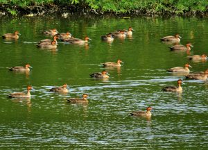 The Philippine Duck is the only endemic duck in the Philippines. It outnumbered the other species we counted in Paoay Lake. Photo was taken in Barangay Gabu, Laoag City.