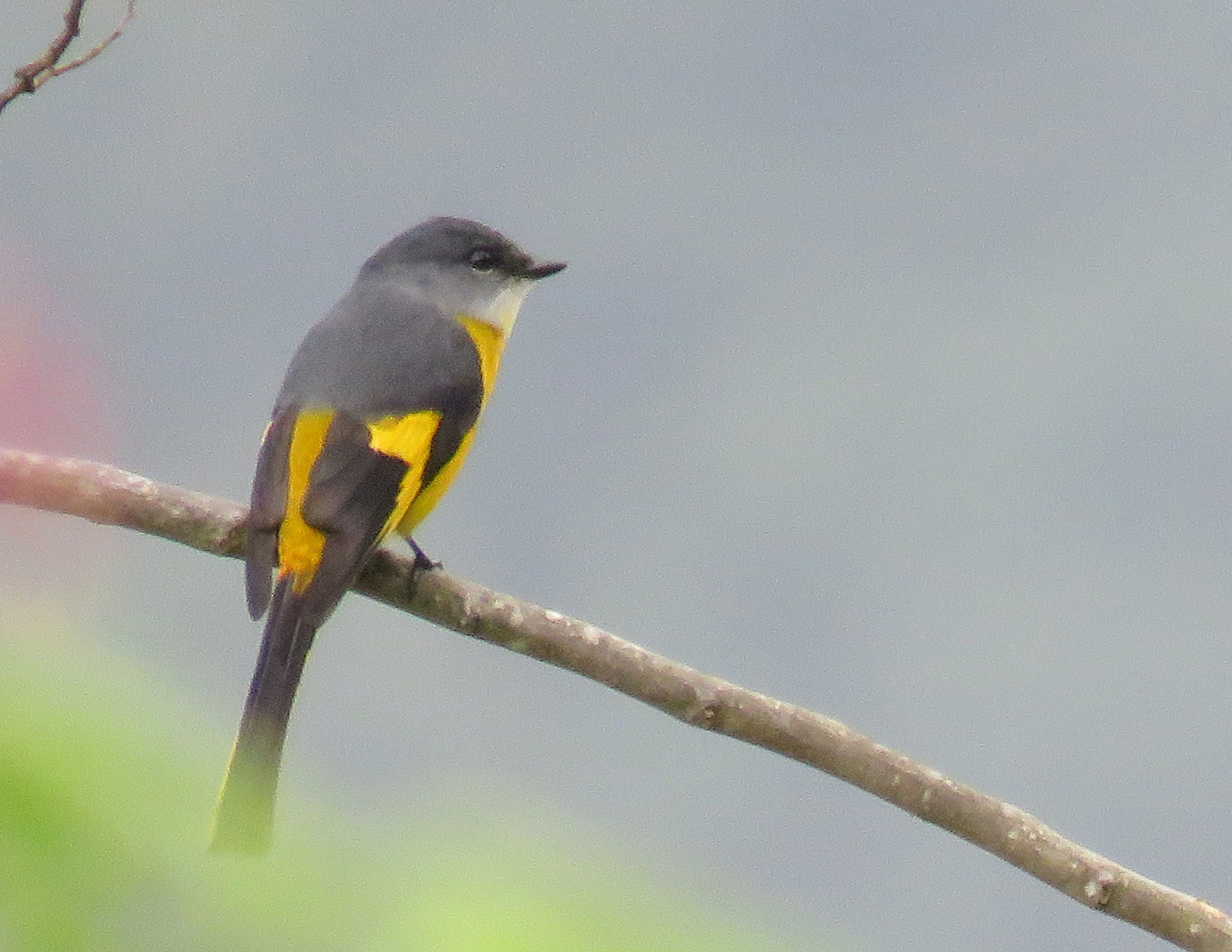 Grey-chinned Minivet. Photo by Randy Weisser.