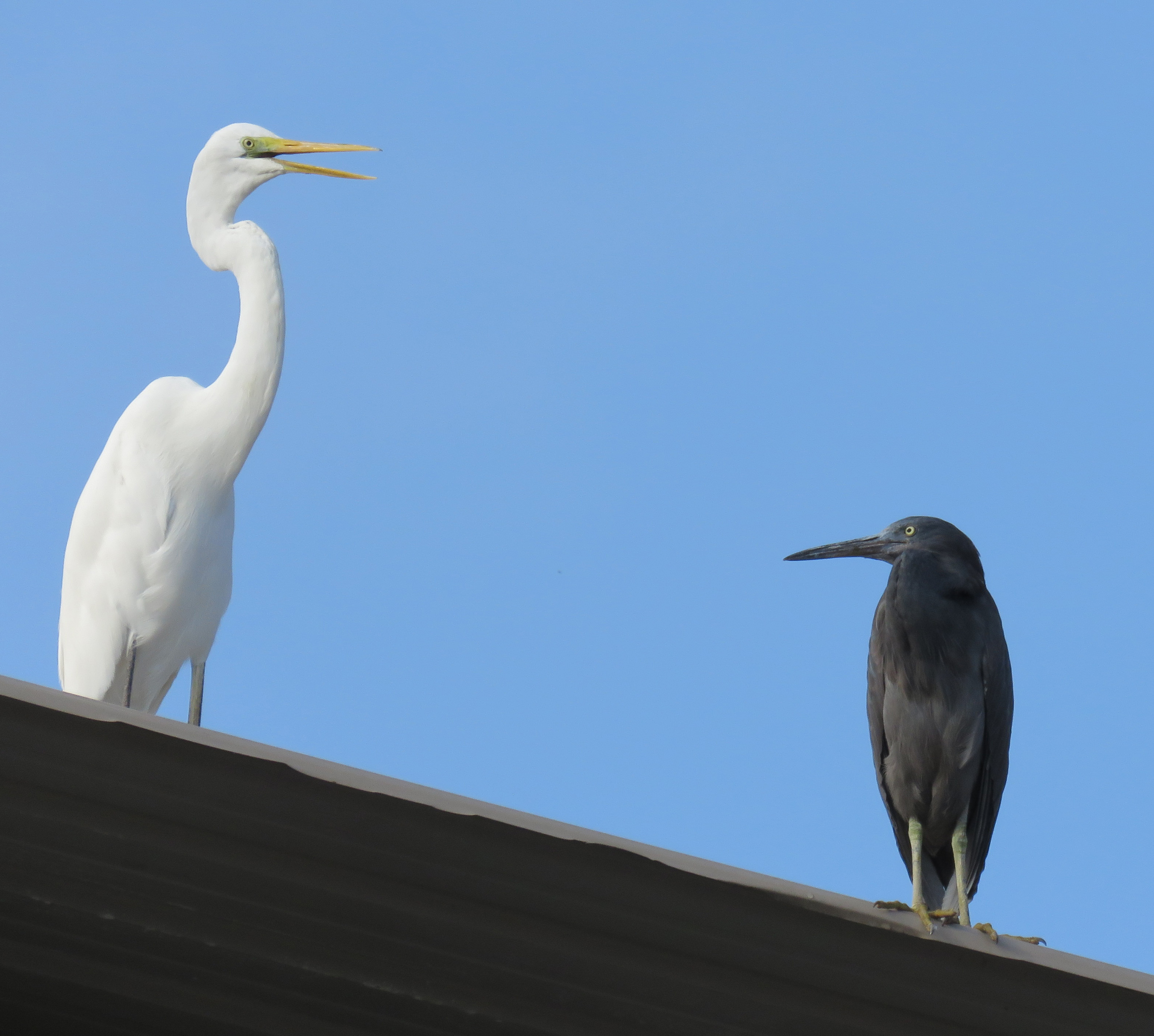 Roof-top Egrets. Photo by Randy Weisser.