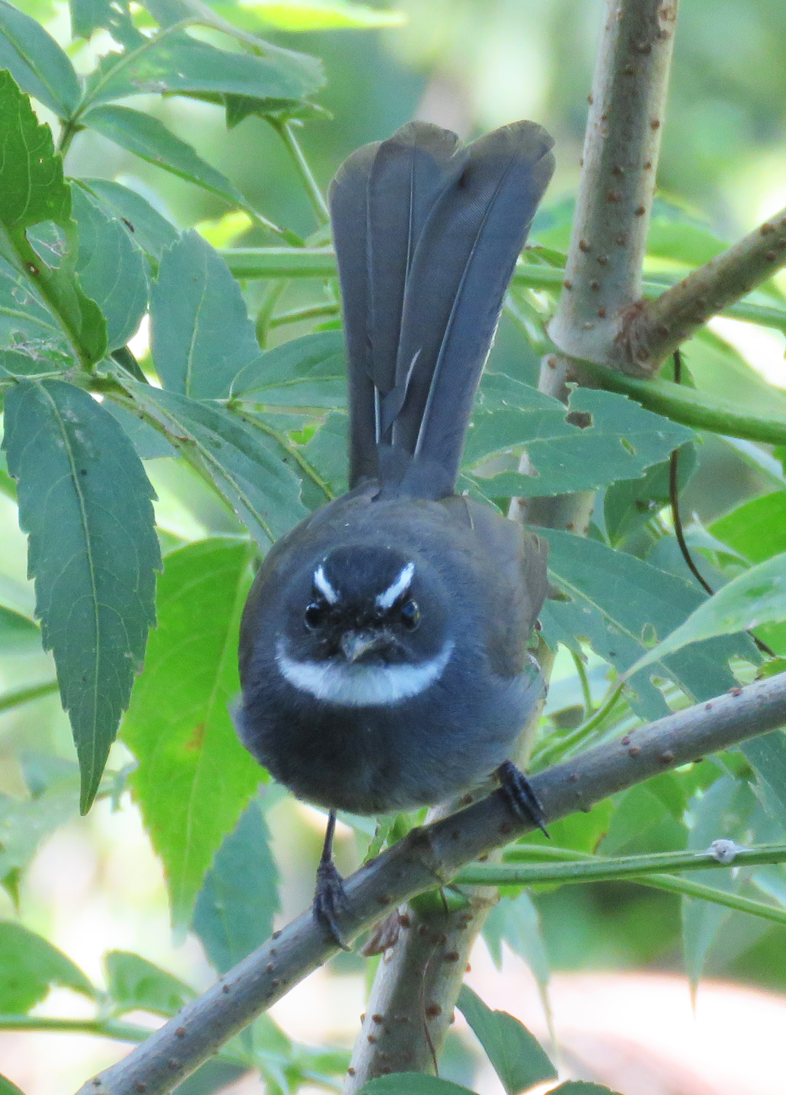 White-throated Fantail. Photo by Randy Weisser.