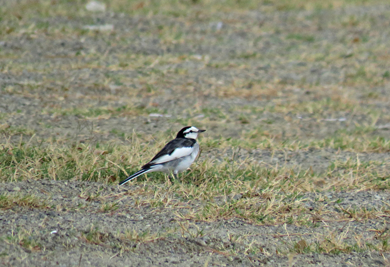 We counted 27 White Wagtails on a parking lot just outside Laoag City. [Photo by Tin Telesforo]