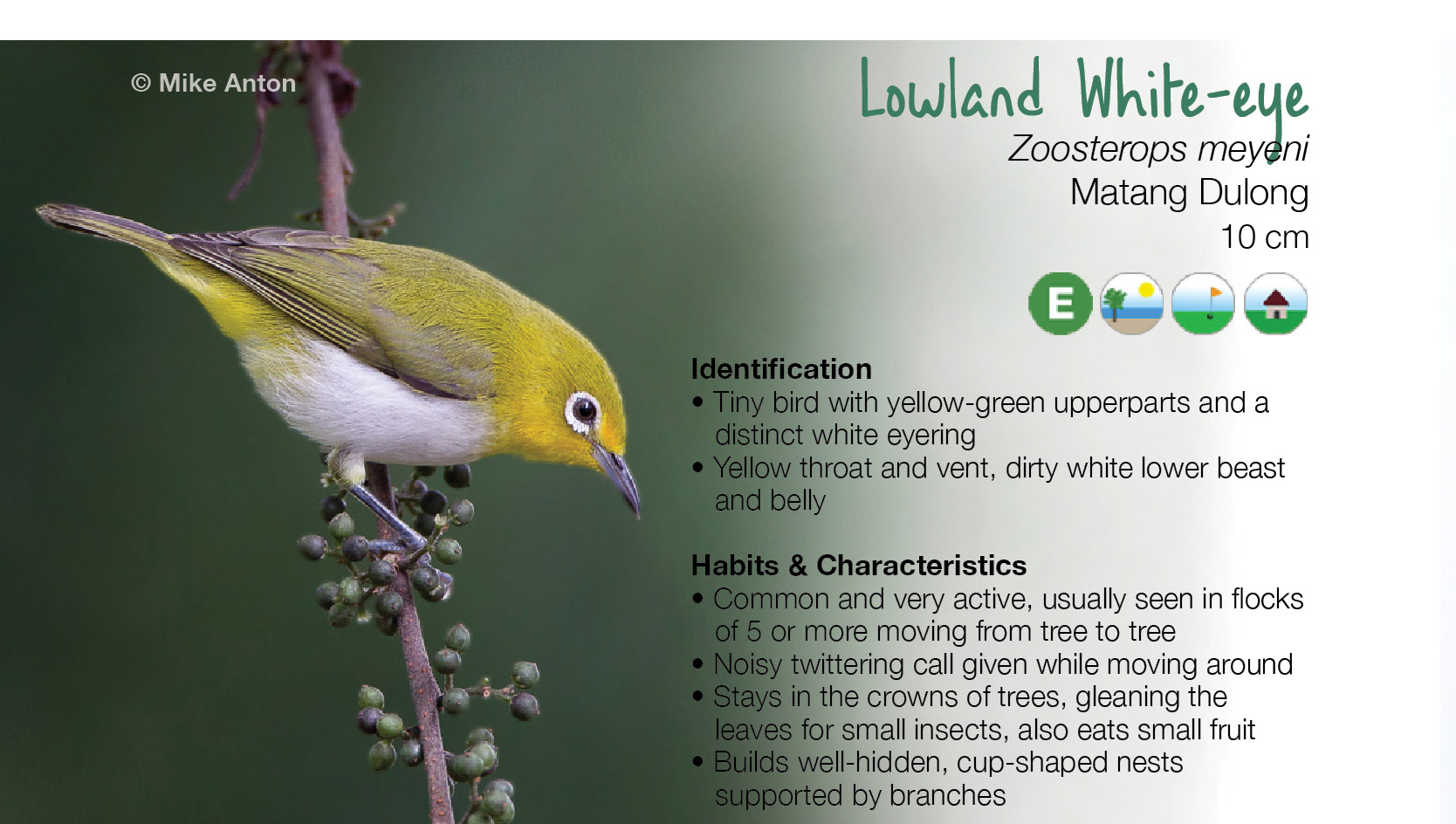The field guide features beautiful photos of the birds in their habitat and identification tools. Bird Photo by Mike Anton, Text by Adri and Trinket Constantino, Layout by Veronica Peralejo.