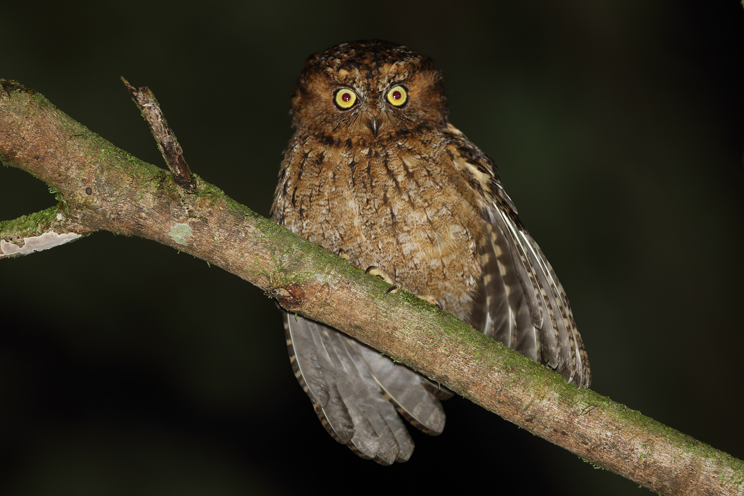 Mindoro Scops Owl. Photo by Robert Hutchinson.