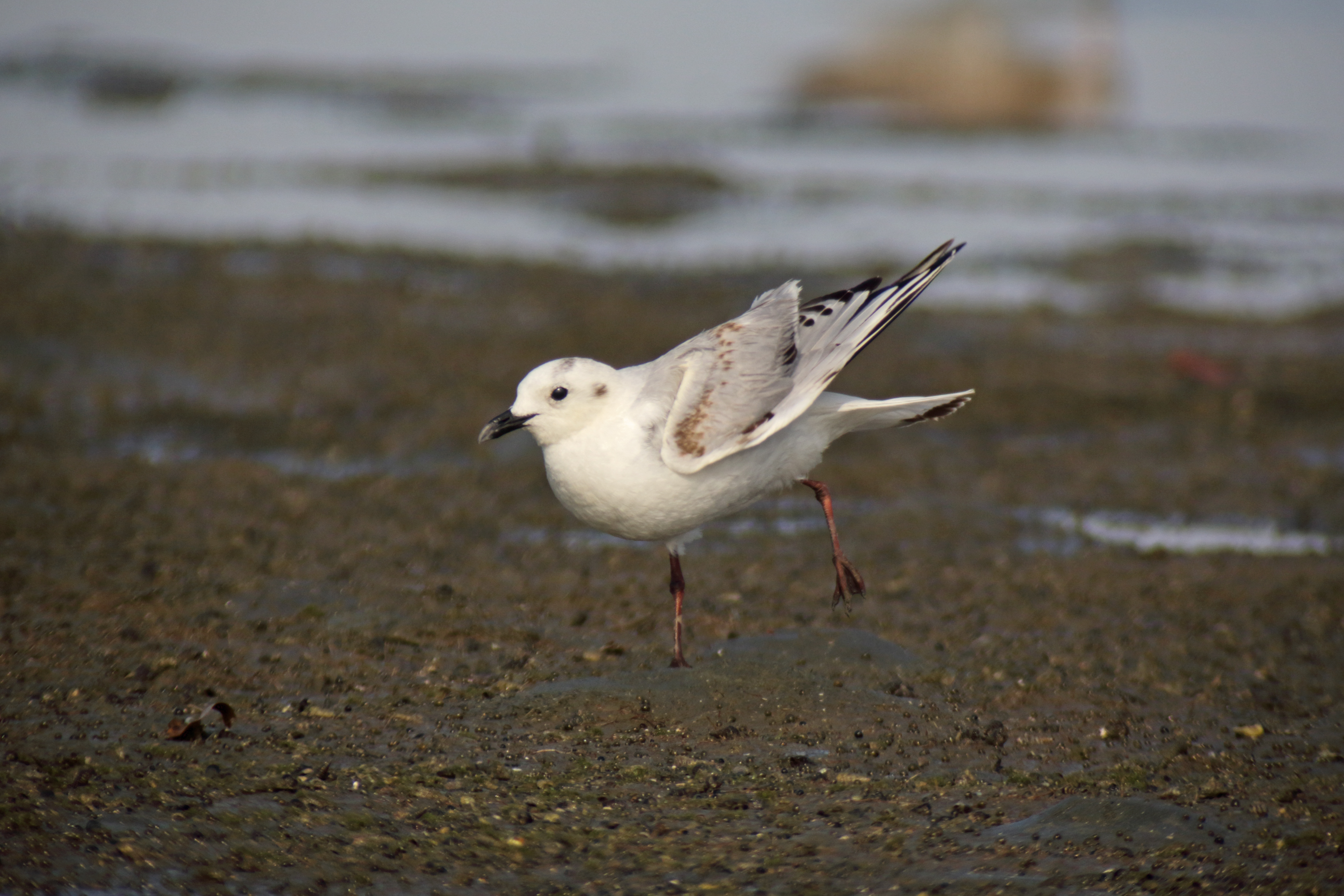 Saunder's Gull (09 January 2015.) Photo by Rob Hutchinson.