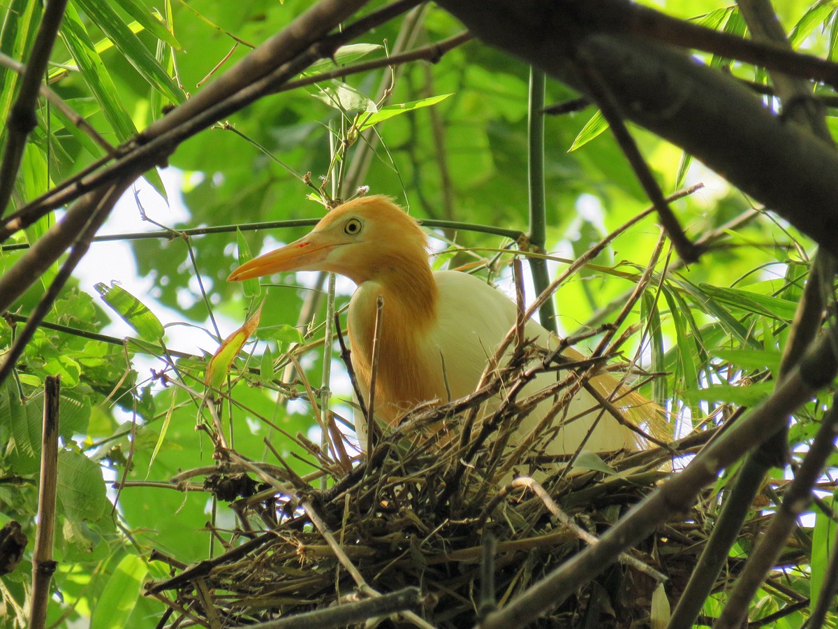 From where I was posted, I had good views of the Cattle Egret nests with their young.