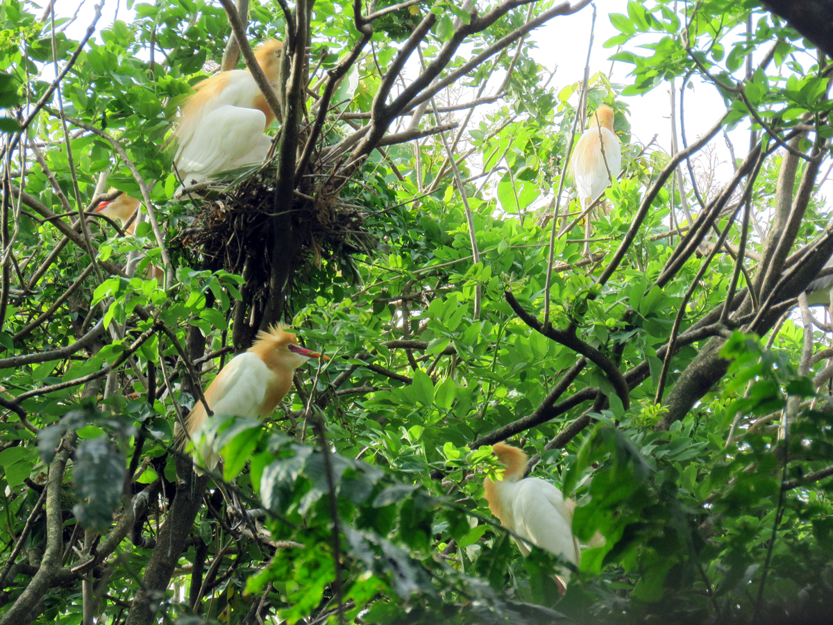 Cattle Egrets Group