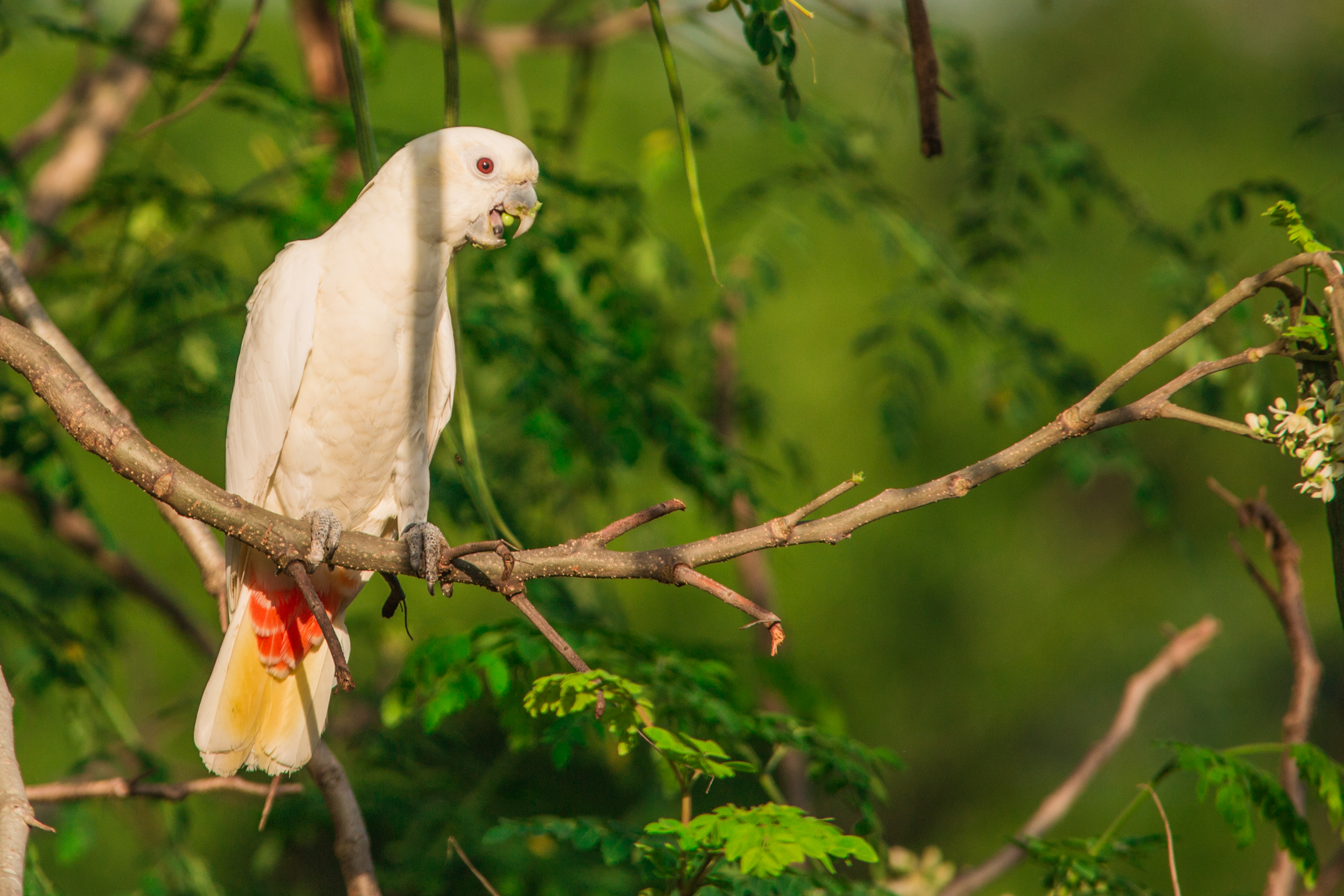 Philippine Cockatoo. Photo by Willem Van de Ven.