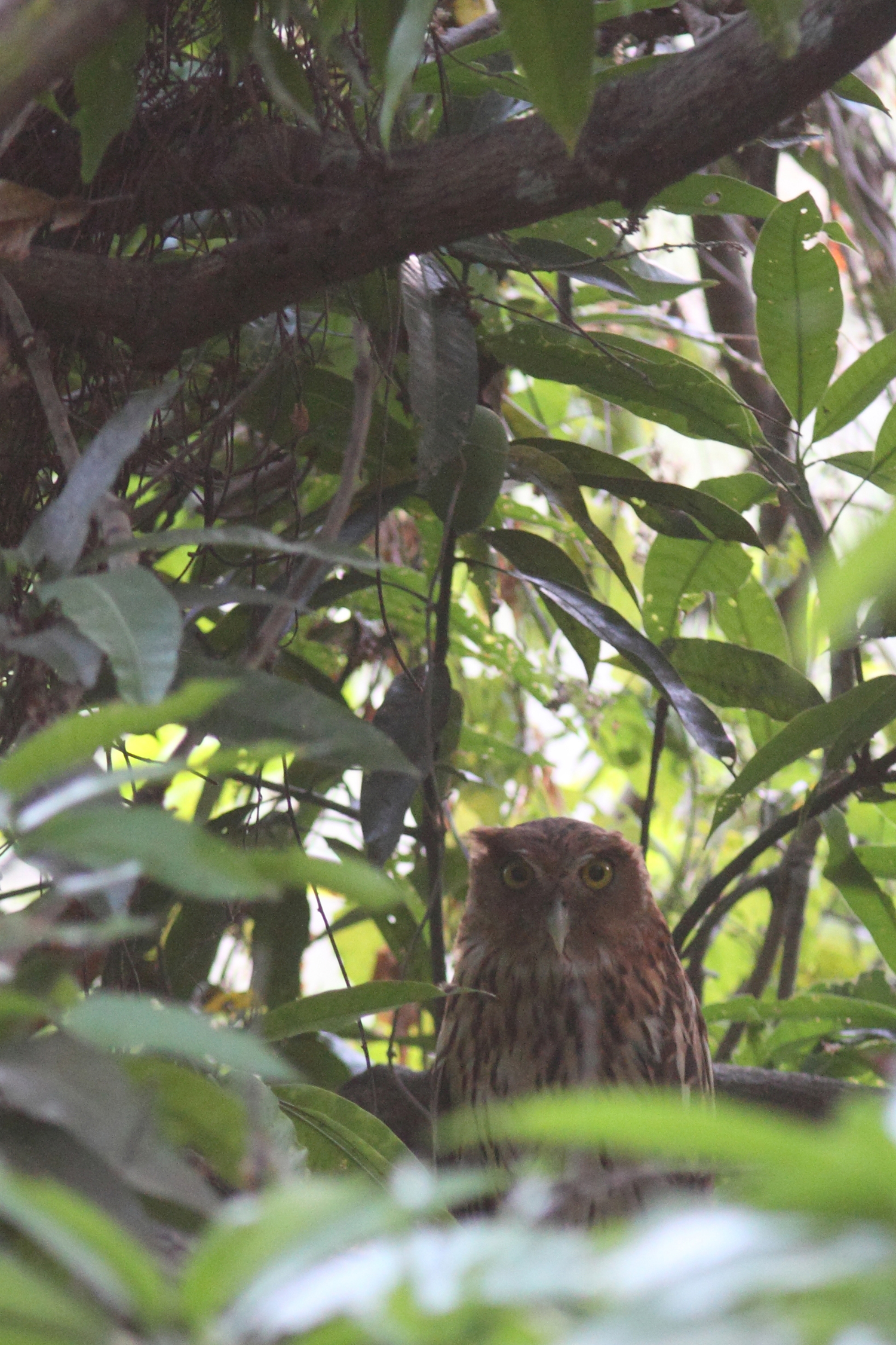 My first view of a Philippine Eagle-Owl roosting in a shady mango tree. I almost had to stand on tiptoes to photograph this bird over the leaves.