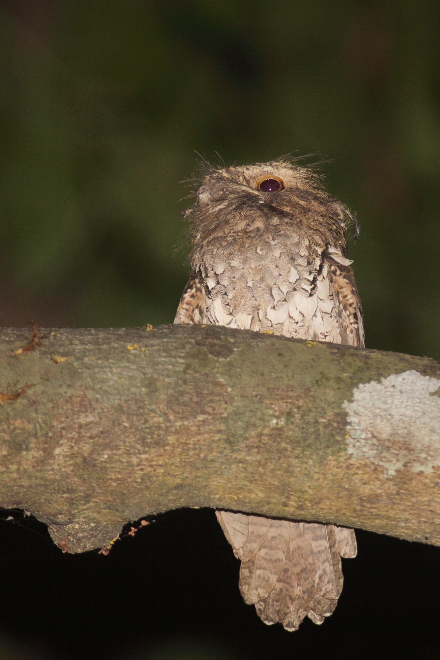Finding this Philippine Frogmouth sitting silently on a low perch was a special bonus.