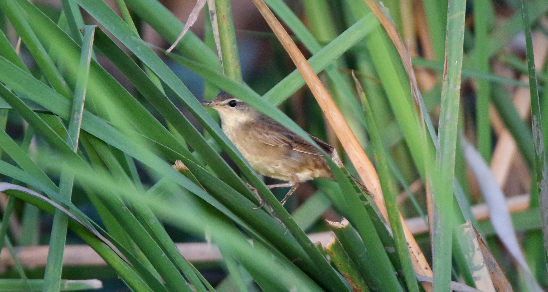 14 Skulking in the grass, a wintering Middendorff's Grasshopper Warbler. Photo by Pete SImpson.