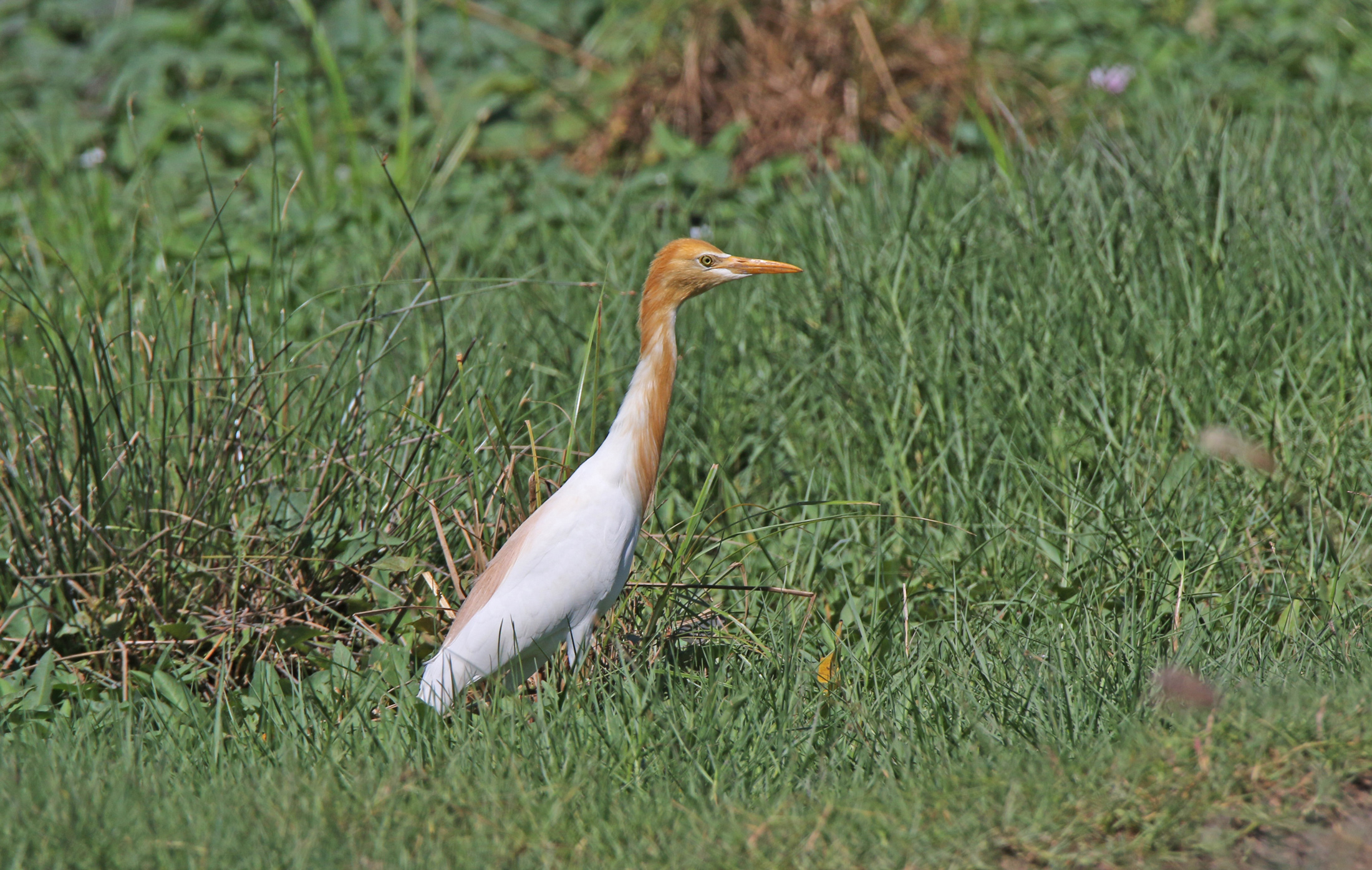 Eastern Cattle Egret. Photo by Pete SImpson.