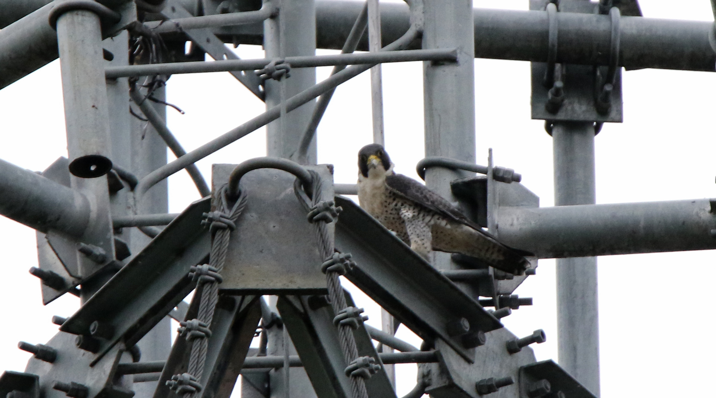 Viewed from the small hotel car park, a telecom tower holds a winter visiting calidus Peregrine Falcon. Photo by Pete SImpson.