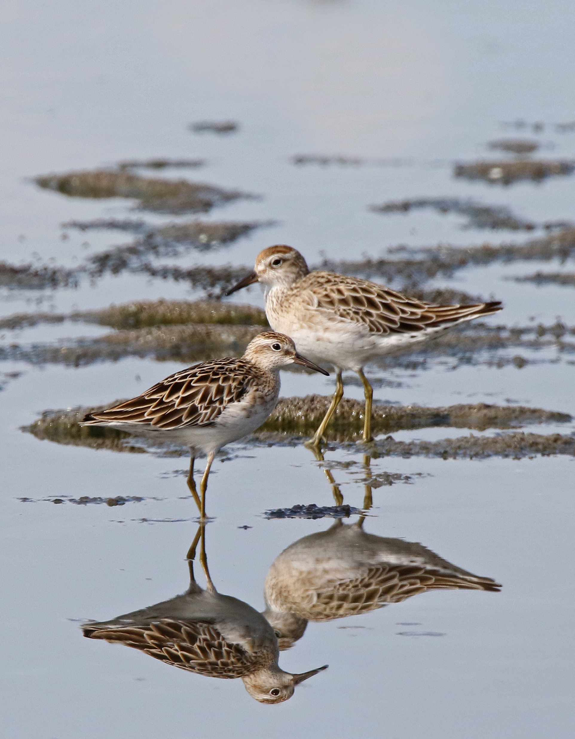 #9 Sharp-tailed Sandpiper. Photo by Pete SImpson.