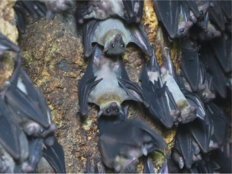 Thousands of Geoffrey's Fruitbat hanging and seen from a cave in Danjugan. Photo by Mark B.