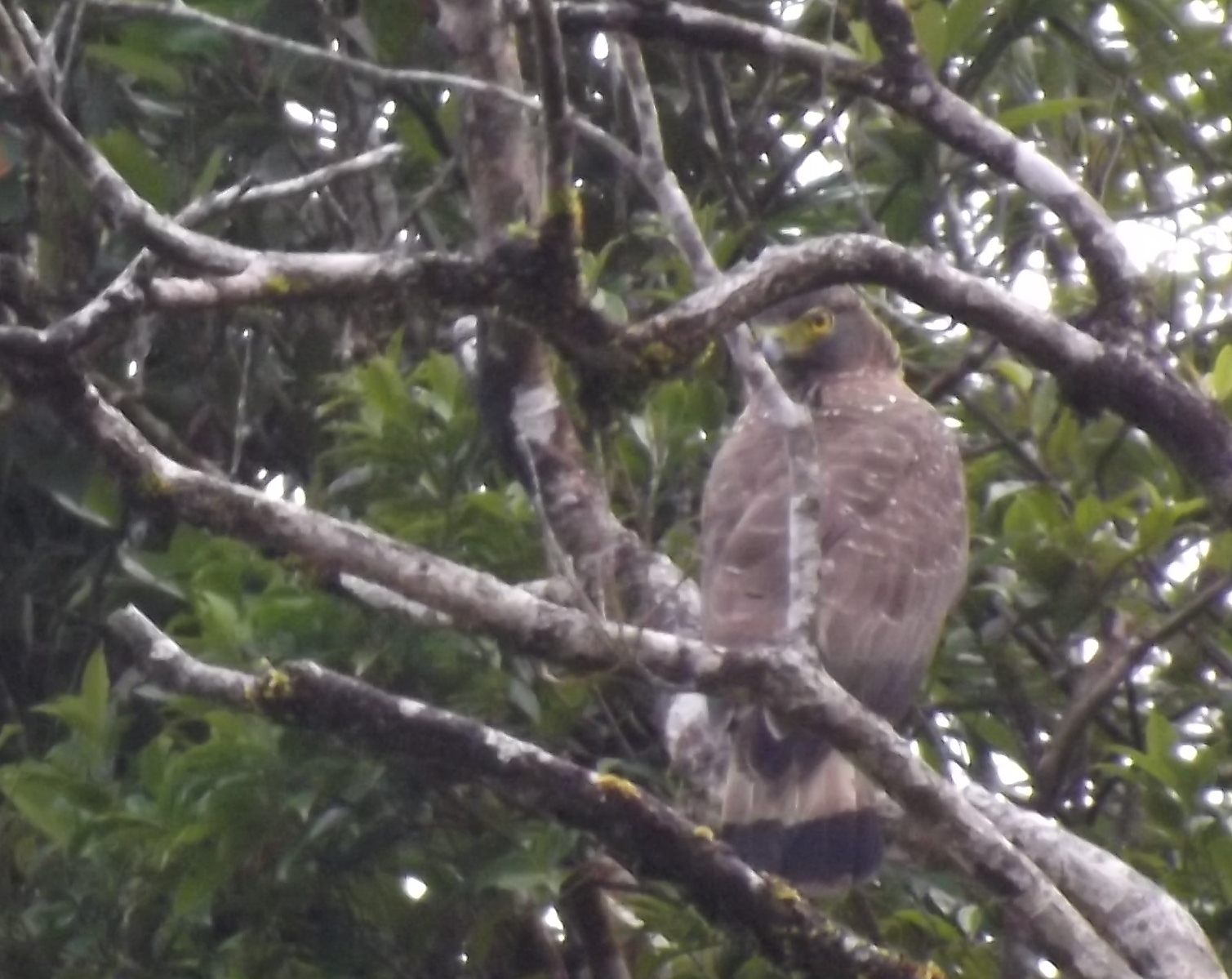 Philippine Serpent Eagle, along the road to Infanta, Quezon, March, 2013. Photo by Linda Gocon.