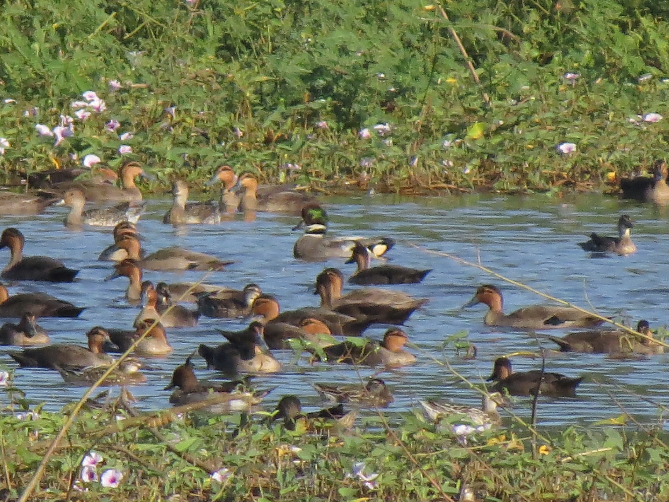 Falcated Duck10